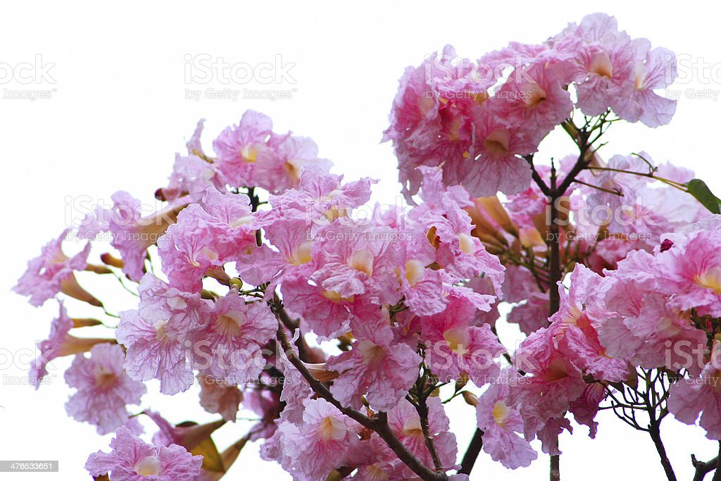 Pink Trumpet flowers royalty-free stock photo