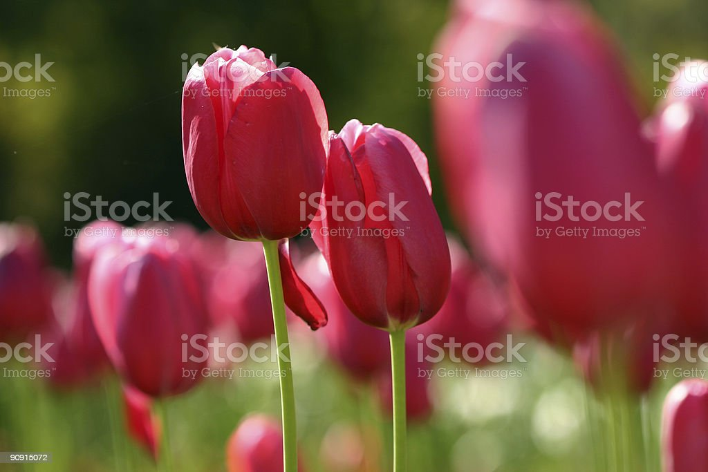 pink tuilips royalty-free stock photo