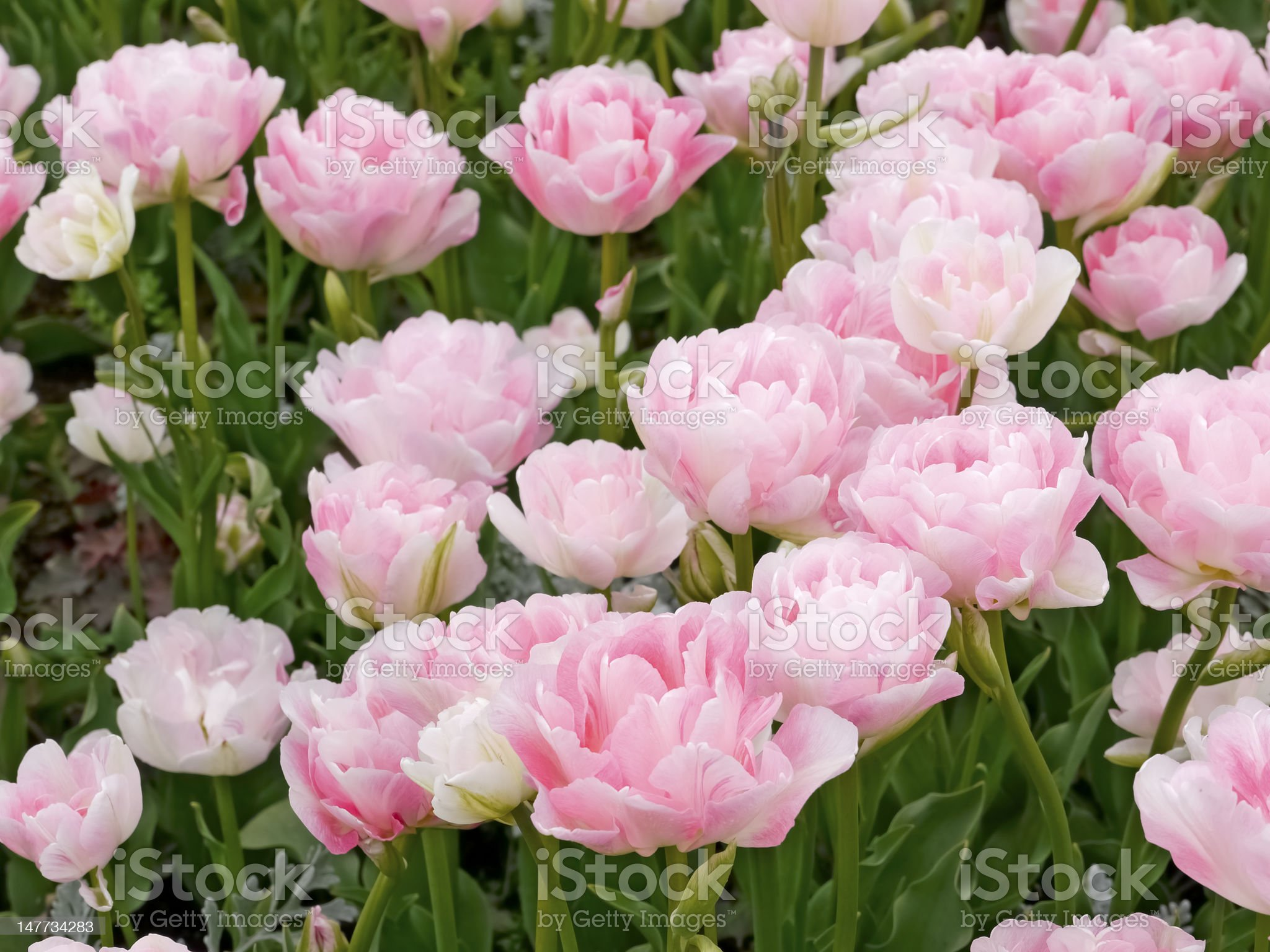Pink tulip 'Angelica' royalty-free stock photo