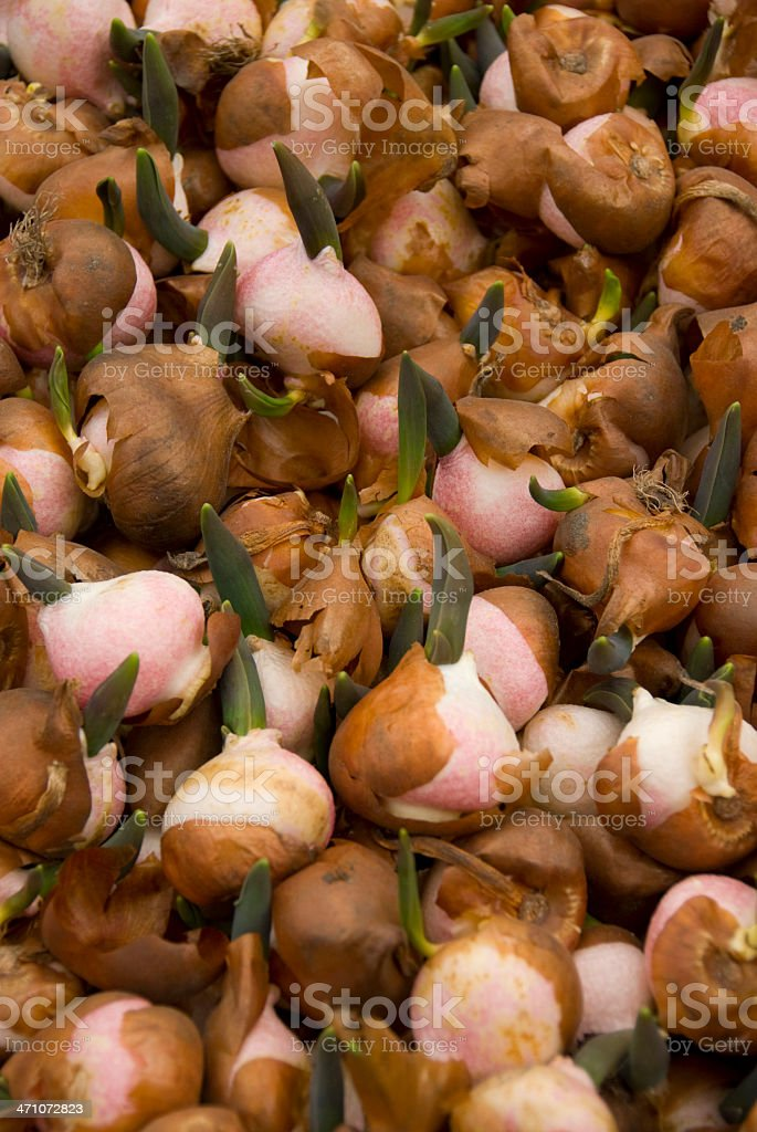 Pink Tulip Bulbs royalty-free stock photo