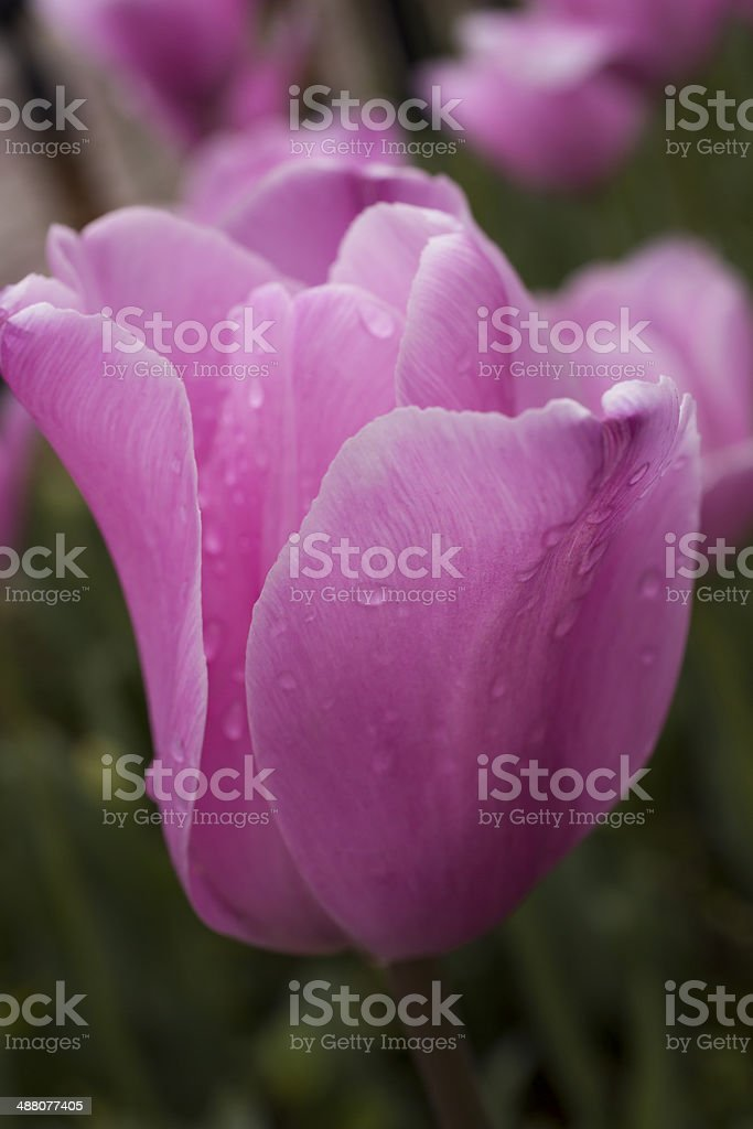 Pink Tulip Close-Up royalty-free stock photo