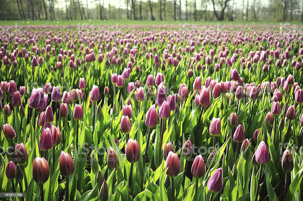 Pink Tulip Field in Holland Spring stock photo