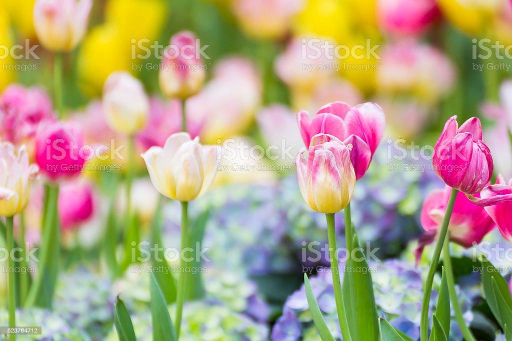 Pink tulip flower in garden stock photo