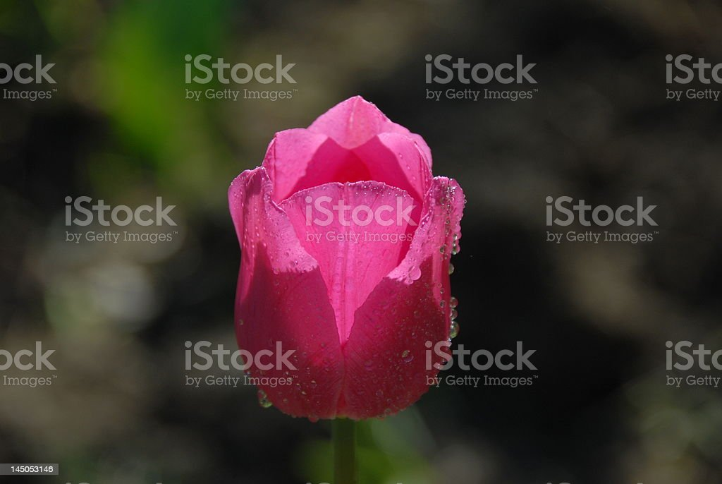 Pink Tulip Shining stock photo