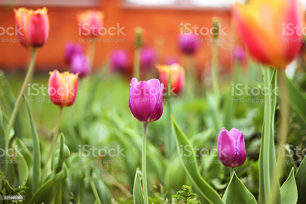 pink tulip with bokeh royalty-free stock photo