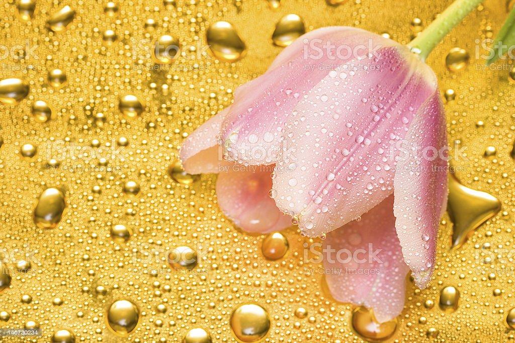 Tulipa Rosa com água gotas foto de stock royalty-free