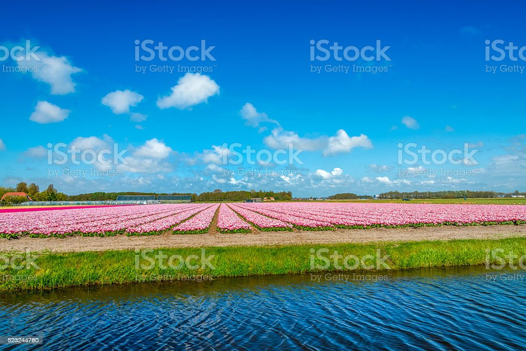 pink tulips, a ditch in the polder typical Dutch scene. stock photo