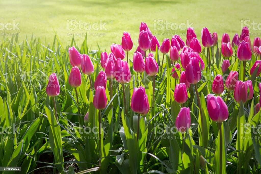 Pink tulips and sunshine stock photo