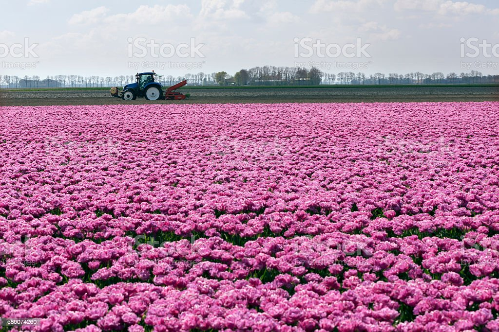 pink tulips and tractor in dutch landscape stock photo