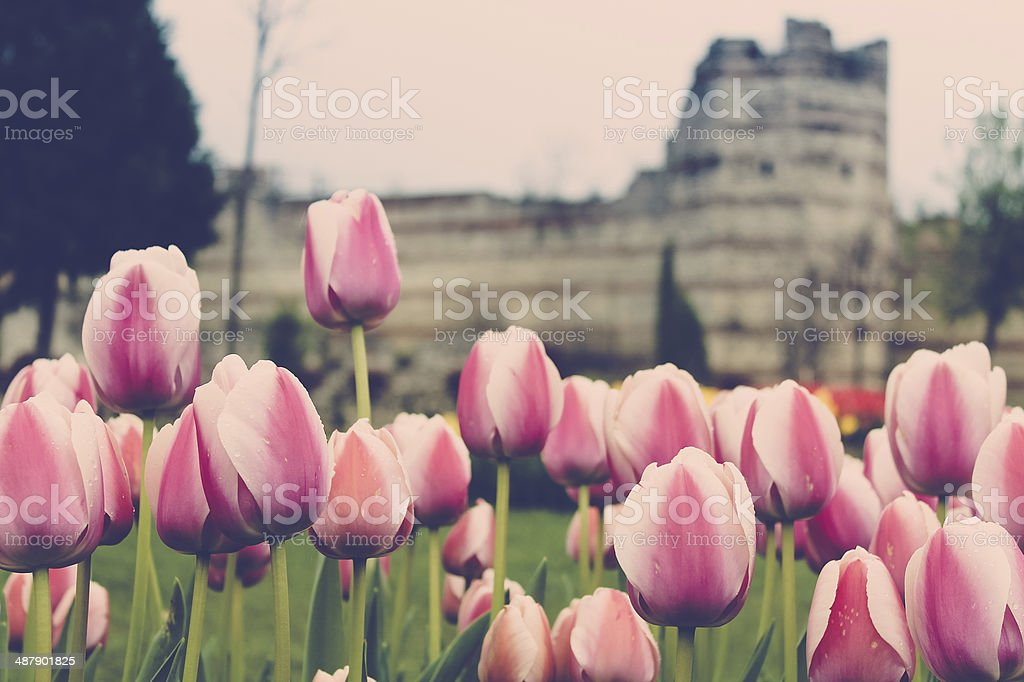 Pink Tulips at the Fortress royalty-free stock photo