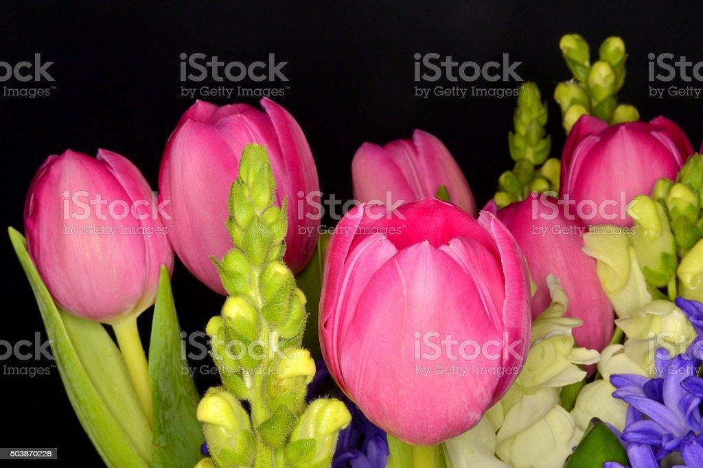 Pink Tulips, Black Background stock photo