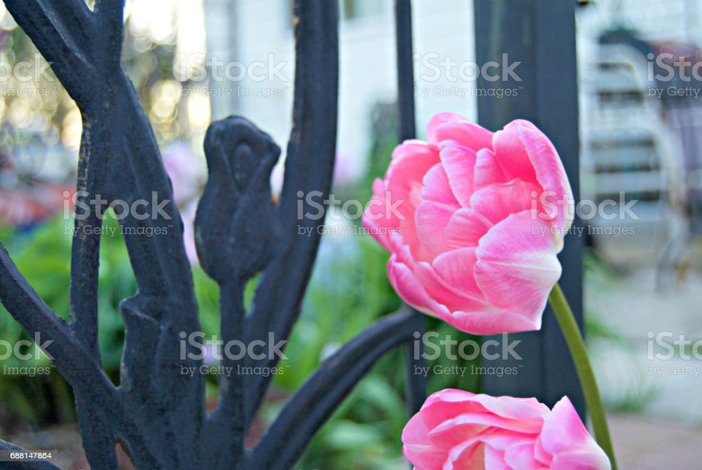 Pink Tulips by the Fence stock photo