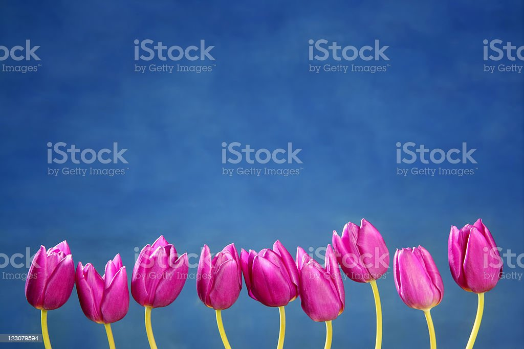 pink tulips flowers in a row group line arrangement stock photo