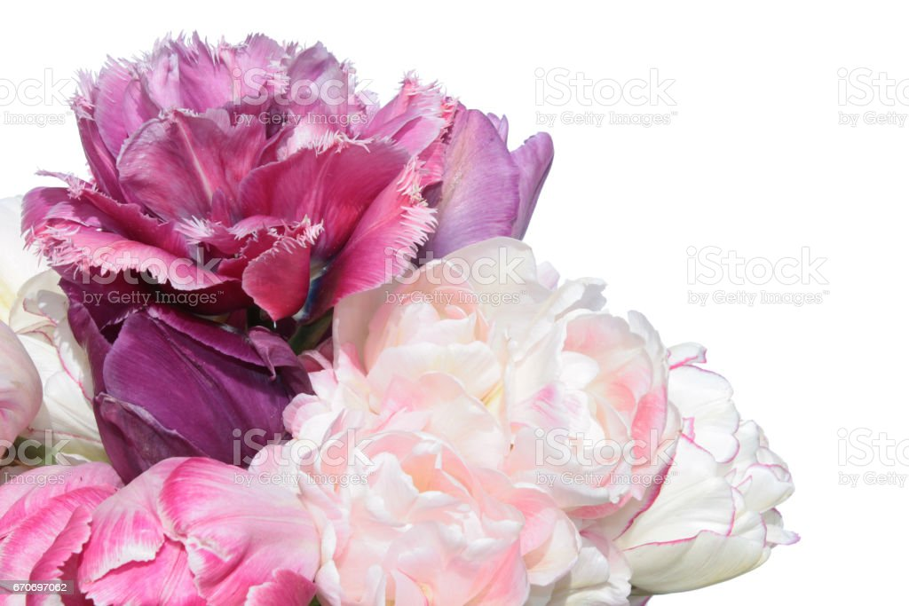 Pink tulips flowers isolated on white background stock photo
