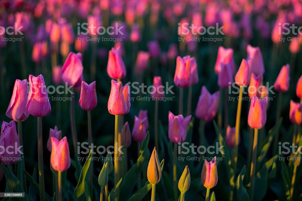 Pink tulips illuminated with golden light at sunrise stock photo