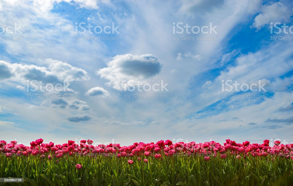 Pink Tulips in a field during a lovely spring day stock photo