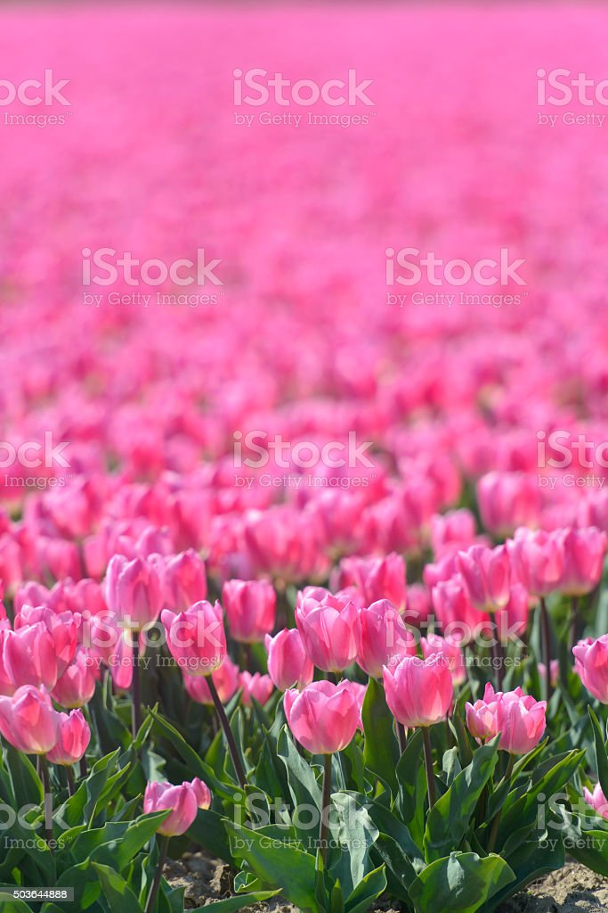 Pink Tulips in a field during spring stock photo