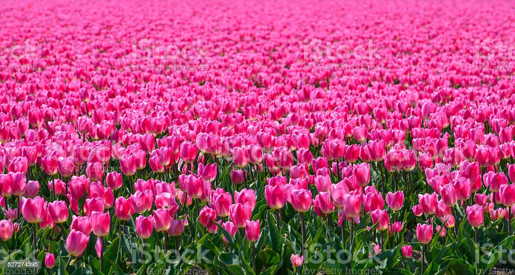 Pink Tulips in a field stock photo