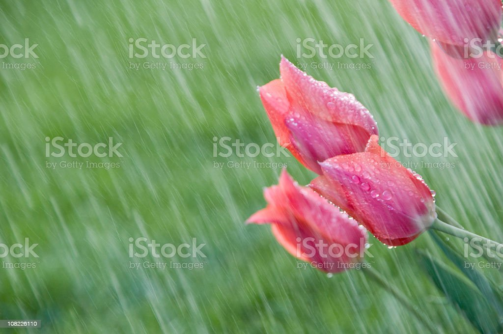 Pink tulips in a spring shower. royalty-free stock photo