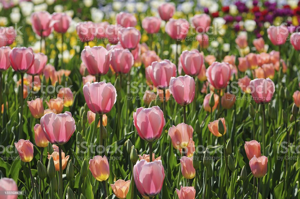 pink tulips in back lit stock photo