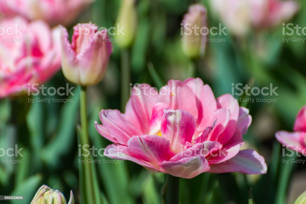 Pink tulips in the spring garden. Springtime flowering. stock photo