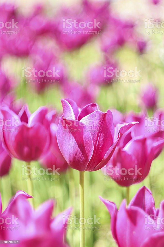 Pink tulips on field stock photo