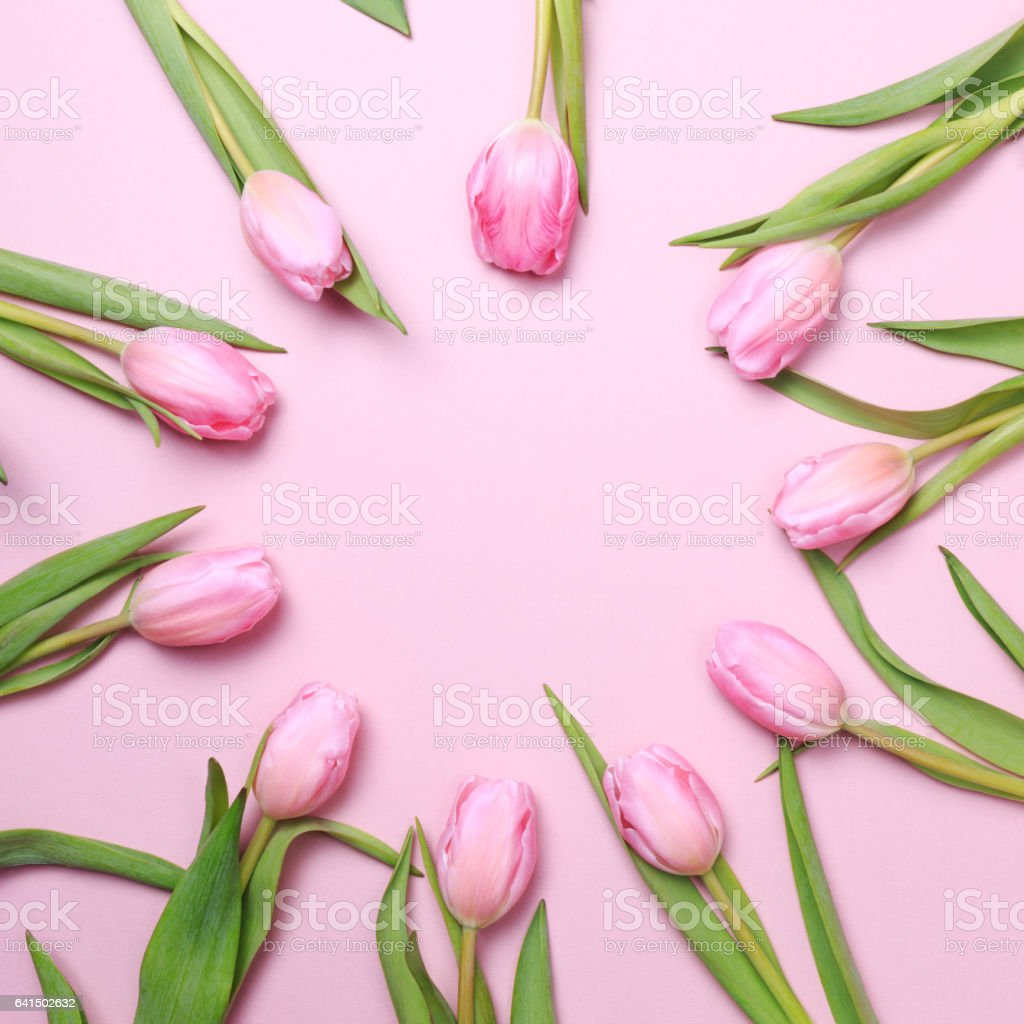 Pink tulips on the pink background. Flat lay, top view stock photo