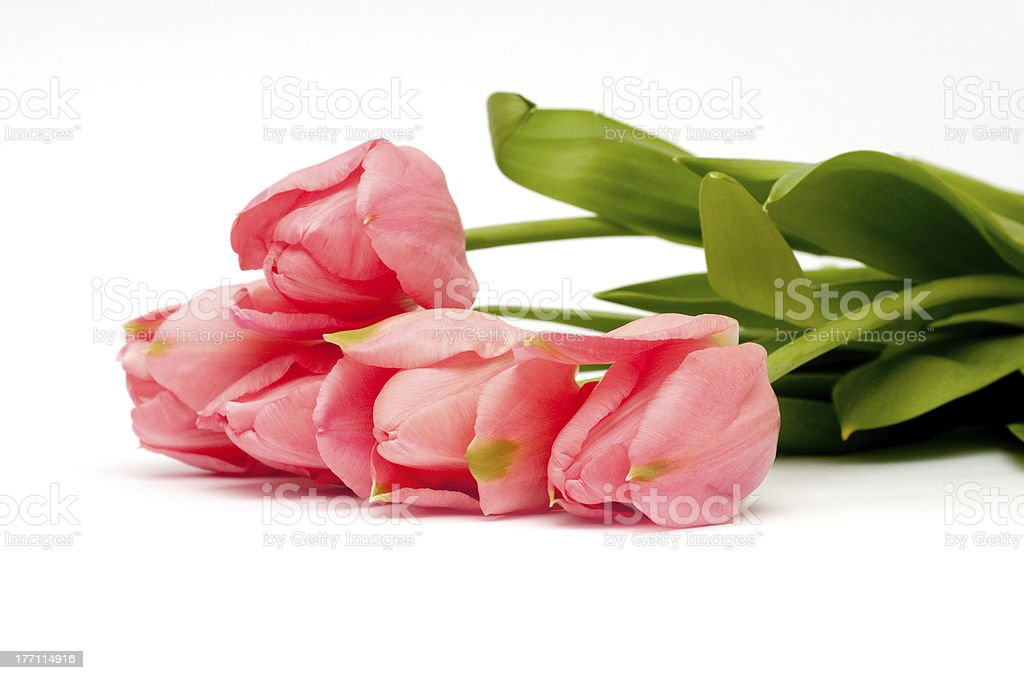 Pink tulips on white background royalty-free stock photo