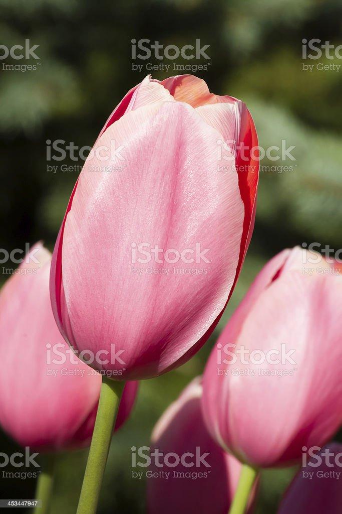 Tulipani rosa foto stock royalty-free