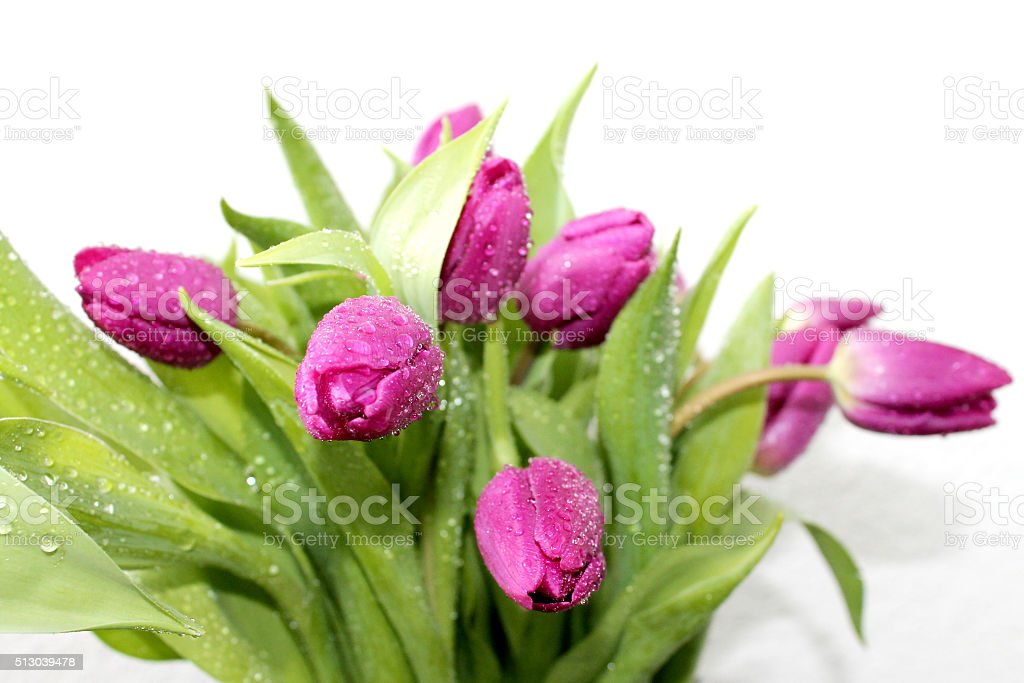 Pink tulips with water drops stock photo