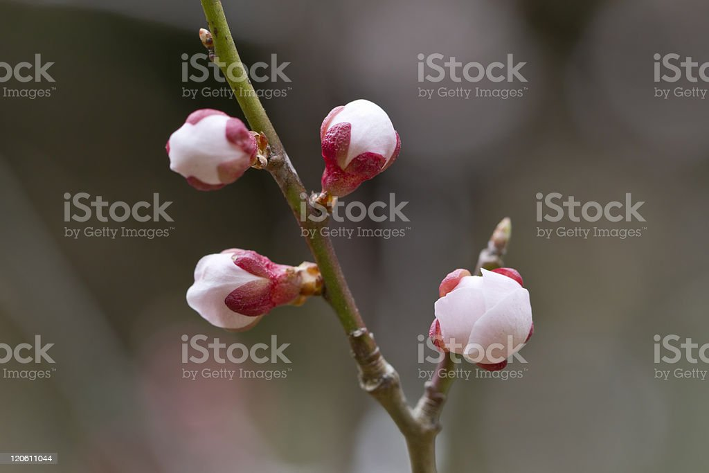 Pink Ume Buds royalty-free stock photo