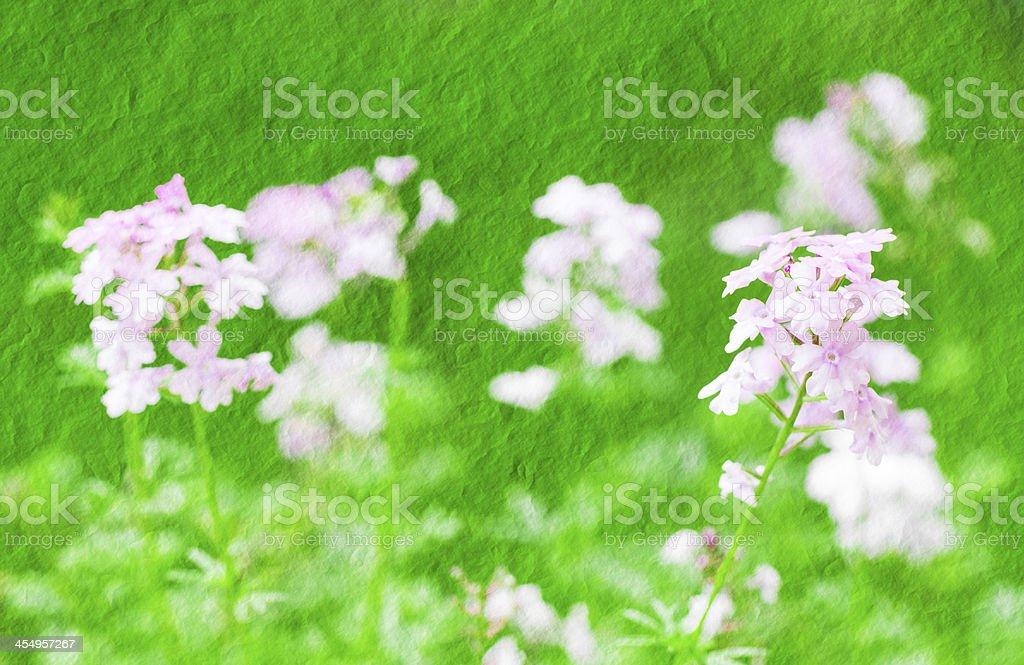 pink verbena flower royalty-free stock photo