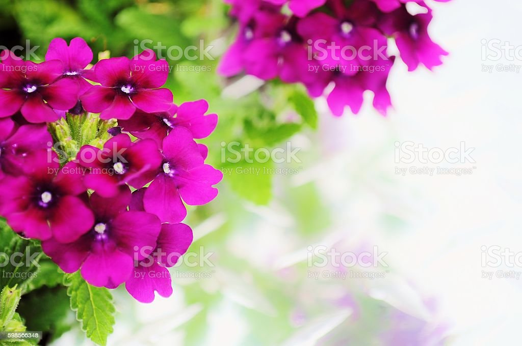 Pink verbena flower with copy space. stock photo