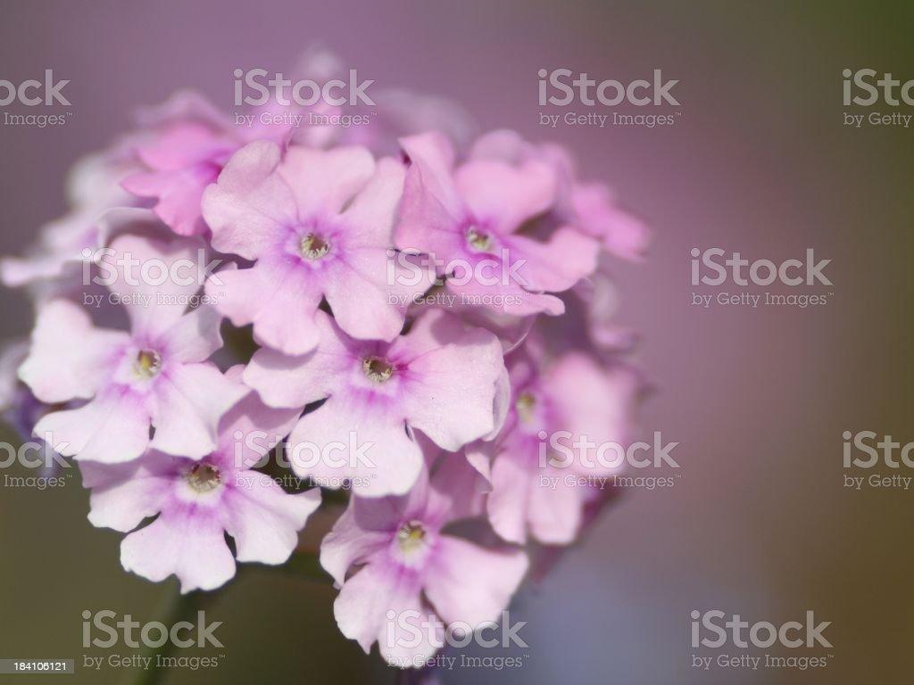 Pink Verbena royalty-free stock photo