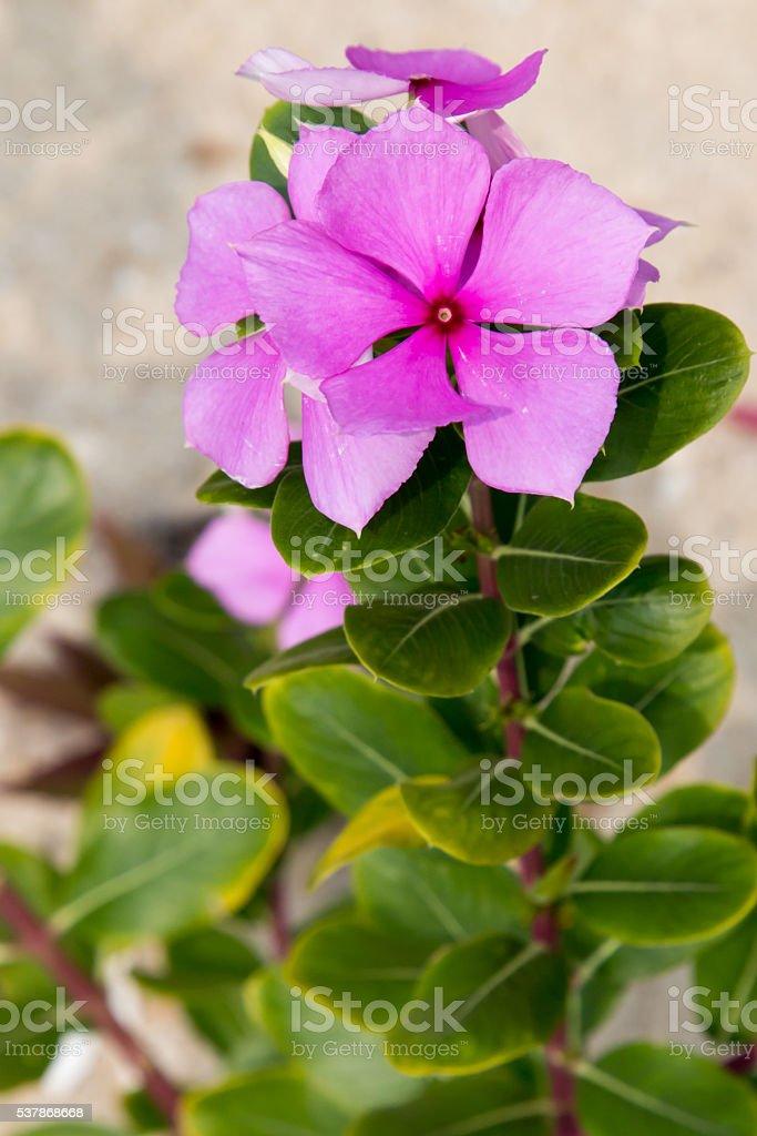 Pink vinca flower on the beach stock photo