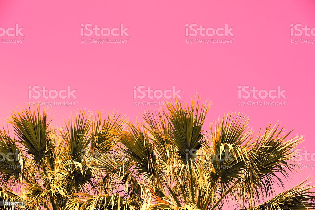 Pink vintage branches of palm trees against  sunset sky stock photo
