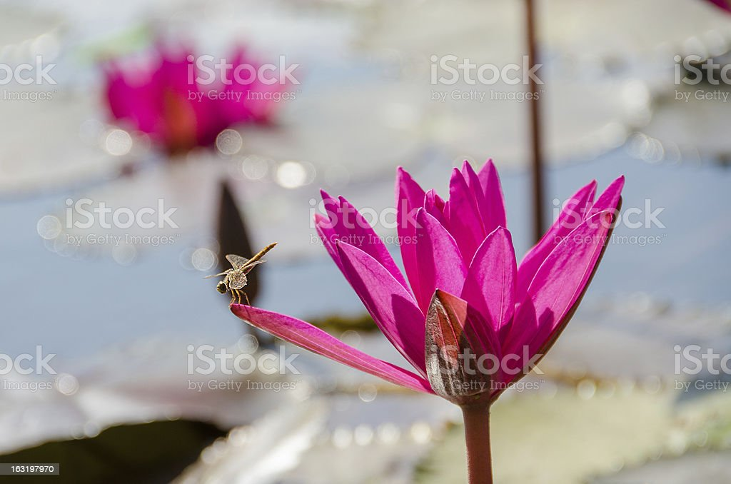 Pink water lilies and dragonfly royalty-free stock photo