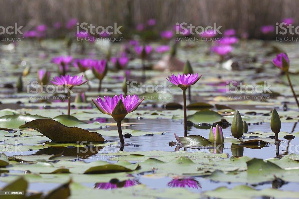 Pink water lilies blooming in marshland. Mai Po. Hong Kong. stock photo