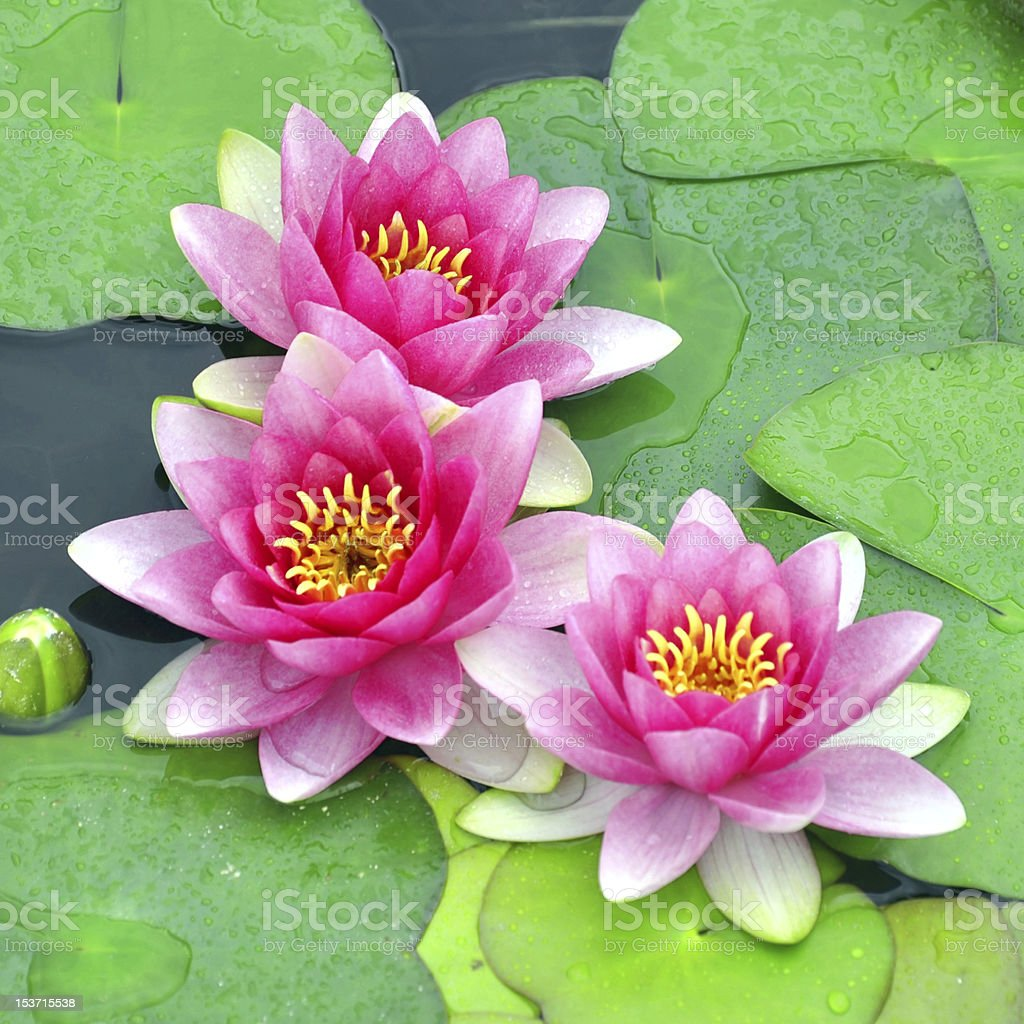 Pink water lilies royalty-free stock photo