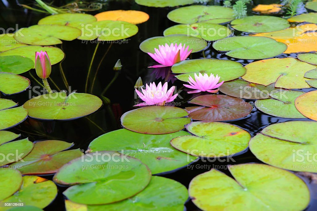 Pink Water Lillies stock photo
