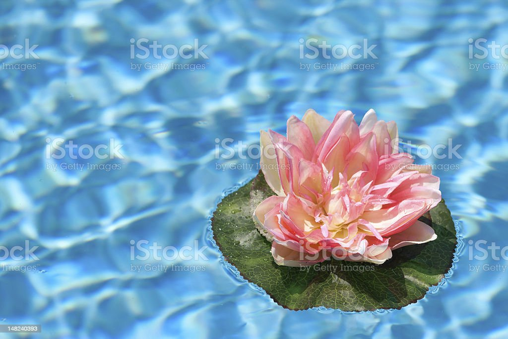 Pink Water Lilly in Blue Pool stock photo