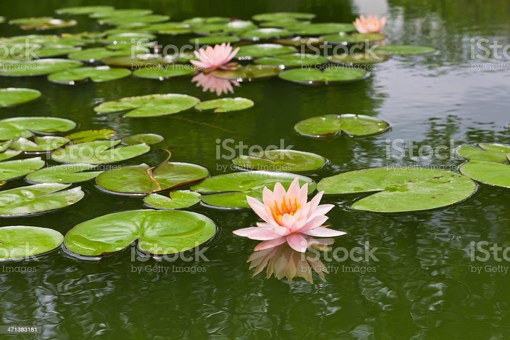 Rosa Giglio di acqua e Foglia in stagno foto stock royalty-free