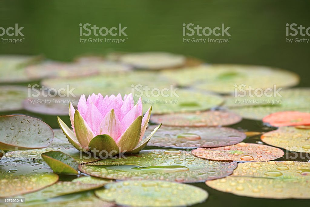 Pink Water Lily and leaves in a pond after rain royalty-free stock photo