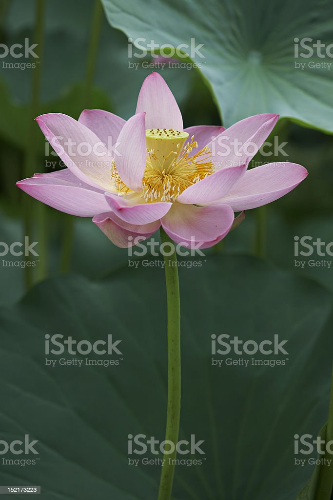 Pink water lily and leaves royalty-free stock photo