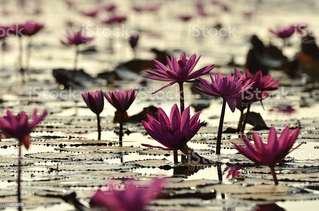 Pink water lily at sunrise royalty-free stock photo