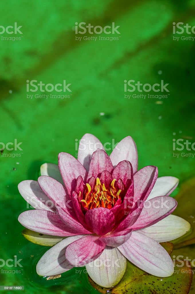 pink water lily close up stock photo