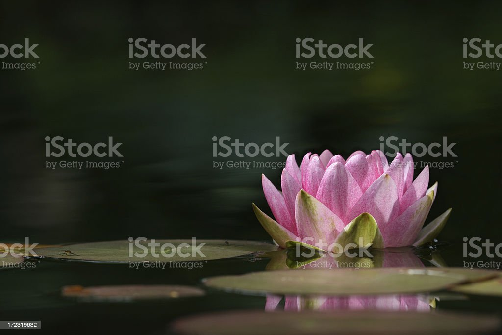 Pink Water Lily close-up with copy space royalty-free stock photo