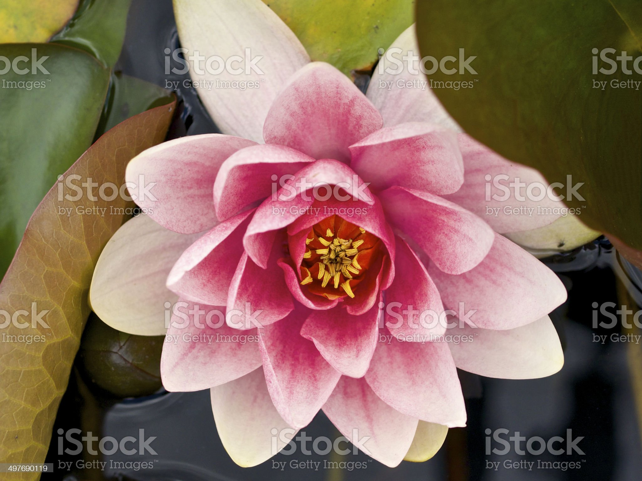 Pink Water Lily Green Leaves Oregon Garden in Spring royalty-free stock photo