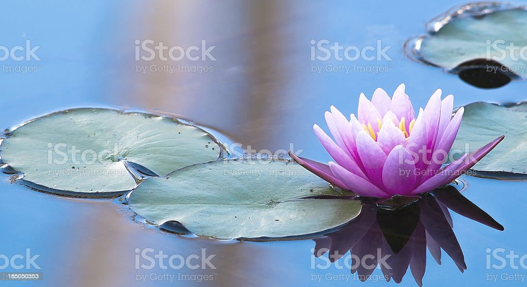 Pink Water Lily in a Peaceful Natural Setting stock photo