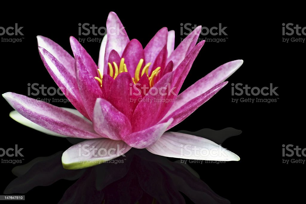 Pink water lily in full bloom with reflection royalty-free stock photo